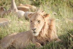 Le lion détend sur la savane 3 Photos stock