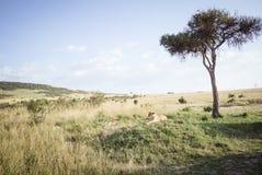 Le lion détend sur la savane 5 Photo libre de droits