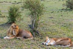 Le lion deux se reposent après l'amour Couples affectueux Repos sur l'herbe Masai Mara, Kenya Photo stock