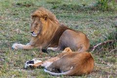 Le lion deux se reposent après l'amour Couples affectueux Repos sur l'herbe Masai Mara, Kenya Photos stock