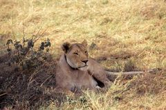 Le lion dort dans l'herbe photo stock