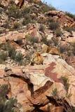 Le lion est le plus grand prédateur terrestre de l'Afrique photographie stock