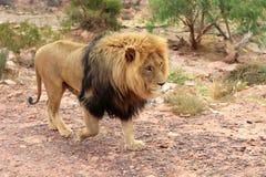 Le lion est le plus grand prédateur terrestre de l'Afrique images stock