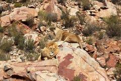 Le lion est le plus grand prédateur terrestre de l'Afrique photographie stock libre de droits