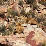 Le lion est le plus grand prédateur terrestre de l'Afrique photos libres de droits