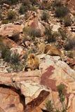 Le lion est le plus grand prédateur terrestre de l'Afrique photo libre de droits