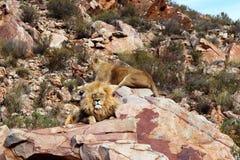 Le lion est le plus grand prédateur terrestre de l'Afrique photo stock