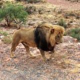 Le lion est le plus grand prédateur terrestre de l'Afrique image stock