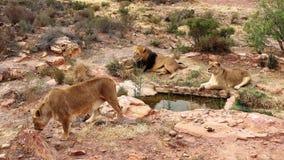 Le lion est le plus grand prédateur terrestre de l'Afrique image libre de droits