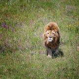 Le lion est sur le champ Photo stock