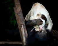 Le lion et l'ours noir Photos libres de droits