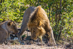 Le lion et la lionne ont un repos dans la savane de parc Image stock