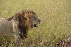 Le lion et son prient dans la savane, Kenya Photo stock