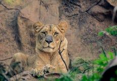 Le lion femelle se trouve sur la roche photos stock