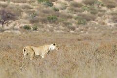 Le lion femelle simple marchant dedans frottent la végétation Photographie stock libre de droits