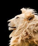 Le lion a isolé Photos stock