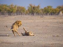 Le lion masculin et femelle dans un rugueux et une action a rempli jeu, parc national d'Etosha, Namibie, Afrique Image libre de droits