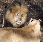 Le lion regardent fixement vers le bas Photos stock