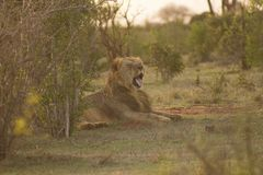Le lion a repéré dans une commande de jeu photo stock
