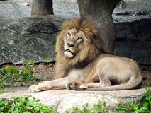 Le lion se couche Photo stock