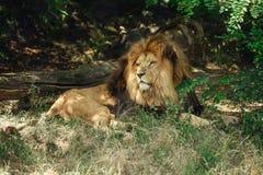 Le lion se situe dans l'ombre dans le buisson photo stock