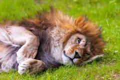 Le lion se trouve sur l'herbe Photographie stock libre de droits