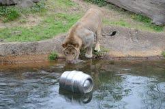 Le lion veut le barillet Photos stock