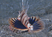 Le Lionfish de Gunard montre ses ailerons pectoraux Photos stock
