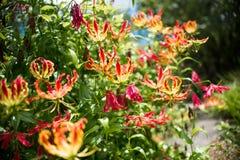 Le lis de flamme de Gloriosa Superba a également appelé le lis de s'élever photos stock