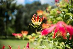 Le lis de flamme de Gloriosa Superba a également appelé le lis de s'élever images stock