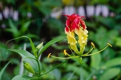 Le lis de s'élever fleurit en nature d'un jardin botanique photographie stock libre de droits