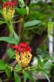 Le lis de s'élever fleurit en nature d'un jardin botanique images stock