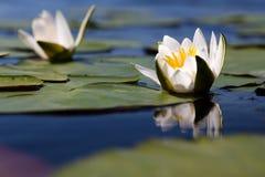 Le lis jaune-blanc de l'eau Images libres de droits