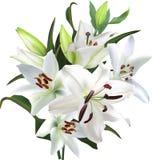 Le lis léger fleurit le groupe luxuriant sur le fond blanc Photos stock