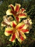 Le lis 'Montego Bay' d'hybrides d'Orienpet jaune-rose avec la calomnie de rouge-vin fleurit Photo stock