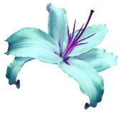 le lis Turquoise-violet de fleur sur le blanc a isolé le fond avec le chemin de coupure aucune ombres closeup Fleur pour la conce Photos stock