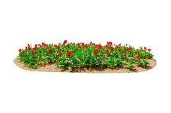 Le lit de fleur des generalis rouges du canna X de lis de Canna fleurissent d'isolement sur le fond blanc photos libres de droits