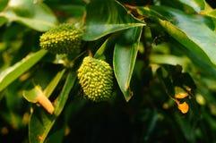 Le litchi délicieux de fruit, mûrissent dans le verger de litchi Photos libres de droits