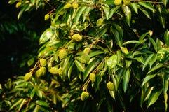 Le litchi délicieux de fruit, mûrissent dans le verger de litchi Photographie stock libre de droits