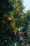 Le litchi délicieux de fruit, mûrissent dans le verger de litchi Images stock