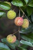 Le litchi porte des fruits, type de bedana au ranisonkoil, thakurgoan, Bangladesh Image libre de droits