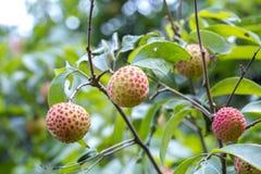 Le litchi porte des fruits, type de bedana au ranisonkoil, thakurgoan, Bangladesh Image stock