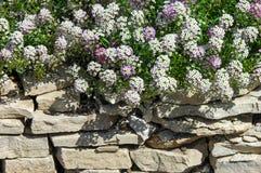 Le Lobularia est un genre de cinq espèces des usines fleurissantes dans Photographie stock libre de droits
