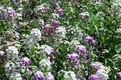 Le Lobularia est un genre de cinq espèces des usines fleurissantes dans Photos stock