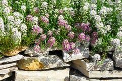 Le Lobularia est un genre de cinq espèces des usines fleurissantes dans Photo libre de droits