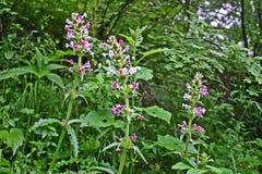 Le longifolia' rose d''Morina fleurit en pleine floraison dans la vallée des fleurs, Uttarkhand, Inde Photos stock