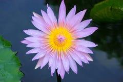 Le lotus Images libres de droits