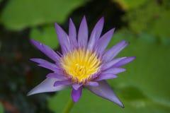 Le lotus Photographie stock