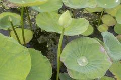 Le lotus apparaissent Image libre de droits