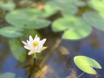 Le lotus blanc est employé pour offrir des moines Ou utilisé pour décorer dans un vase image libre de droits